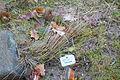 Corynephorus canescens - Botanischer Garten, Dresden, Germany - DSC08705.JPG
