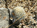 Coryphantha retusa?? (5755272600).jpg