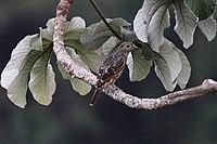 Cotinga nattererii -Panama-8a.jpg