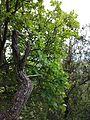 Cotinus coggygria sl4.jpg