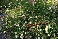 Cottage garden border daisies at Boreham, Essex, England.jpg