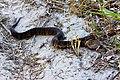 Cottonmouth (aka water moccasin) (Agkistrodon piscivorus) (6307259102).jpg