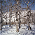 Cottonwoods, Kluane National Park (17089609926).jpg