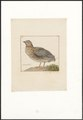 Coturnix communis - 1753-1834 - Print - Iconographia Zoologica - Special Collections University of Amsterdam - UBA01 IZA1000252.tif