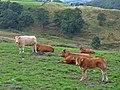 Cows in field, Top O' Th' Hill - geograph.org.uk - 554202.jpg