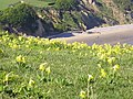 Cowslips on Culver Down - geograph.org.uk - 358331.jpg