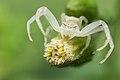 Crab Spider (15832001475).jpg
