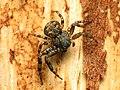 Crab Spider (33923117364).jpg
