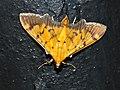 Crambid Moth (Syllepte fabiusalis) (15665198846).jpg