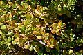 Crassula ovata in Jardin des Plantes de Toulouse 03.jpg