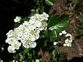 Crataegus laevigata (subsp. laevigata) sl21.jpg