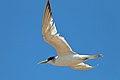 Crested Tern (23757927533).jpg