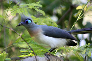 Crested coua - At Anjajavy Forest, Madagascar