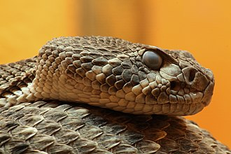 Viperidae - The western diamondback rattlesnake Crotalus atrox, the venom of which contains proteins allowing the snake to track down bitten prey
