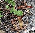 Cryptanthus heimenii P.J.Braun & Goncalves Brito, Sergipe, Brasil.jpg