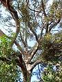Cryptocarya obovata trunk & leaves.JPG