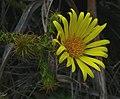 Cullumia ciliaris 15107670.jpg