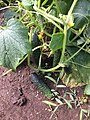 Cultivo del Pepino Cucumber 8.jpg