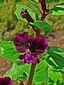Cuphea viscosissima 002.JPG