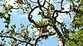 Curatella americana L. - Flickr - Alex Popovkin, Bahia, Brazil (1).jpg