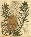 Curtis's Botanical Magazine, Plate 3060 (Volume 58, 1831).png