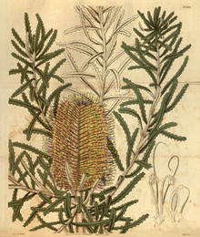 Curtis's Botanical Magazine, Plate 3060 (Volume 58, 1831).png