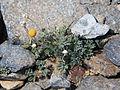 Cut-leaf daisy Erigeron compositus rayless.jpg