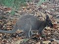 Cute Wallaby (25517390494).jpg