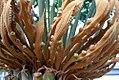 Cycas circinalis 5zz.jpg