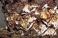 Cycas revoluta-fungus infection.jpg