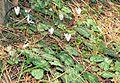 Cyclamen balearicum Orchi 2013-04-16 005.jpg