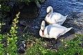 Cygnus olor (Küken) - Arboretum 2011-05-28 18-34-02.jpg