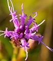 Cylindrical Blazing Star (Liatris cylindracea) - Flickr - wackybadger.jpg