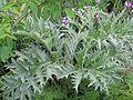 Cynara cardunculus - Flickr - peganum (1).jpg