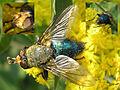 Cynomya mortuorum (male) - Collage.jpg
