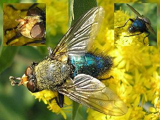 <i>Cynomya mortuorum</i> species of insect