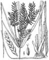 Cyperus iria BB-1913.png