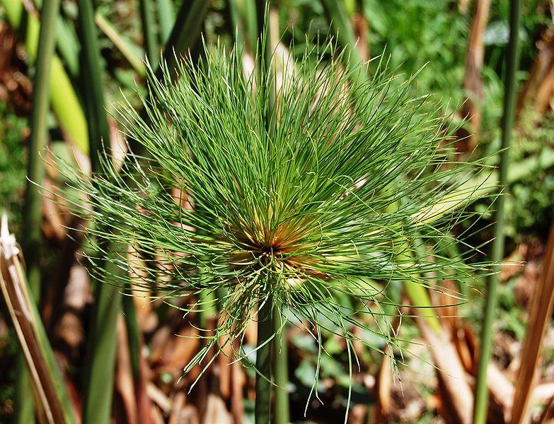 File:Cyperus papirus Orto botanico di Palermo 0005.JPG