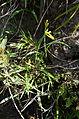 Cyrtanthus mackenii var. cooperi 0304.jpg