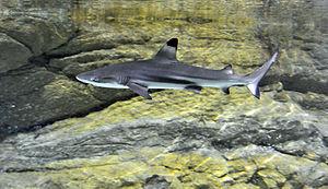 Tropicarium Kolmården - Blacktip reef shark (Carcharhinus melanopterus).