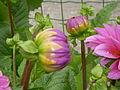 Dahlia hybriden 0.1 R.jpg