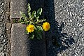 Dandelions at the edge of a parking lot in Tuntorp, Brastad.jpg