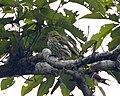 Dark-throated Oriole (Oriolus xanthonotus) - Flickr - Lip Kee.jpg