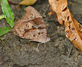 Dark Evening Brown Melanitis phedima at Jayanti, Duars, WB W IMG 5646.jpg