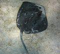 Dasyatis dipterura galapagos 2.jpg