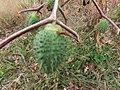 Datura stramonium 100967387.jpg