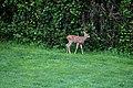 Deer baby Img 3432.jpg