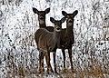 Deer on Drummond Island - 49369988453.jpg