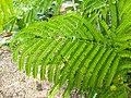 Delonix regia- Flame tree, Peacock Flower, Anasippoomaram, Poomaram 4.jpg