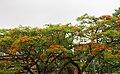 Delonix regia flower in Dhaka.jpg